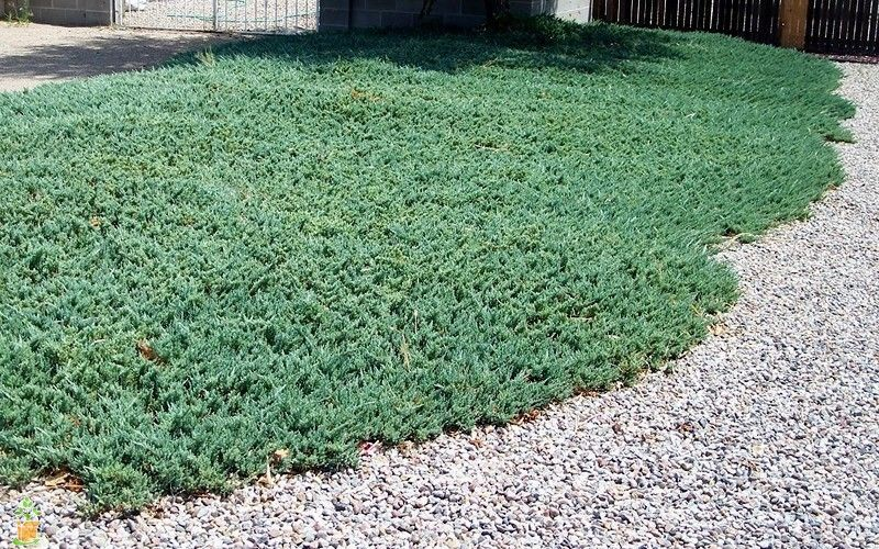 Blue Rug Juniper Ground Cover Plants Sloped Garden Ground Cover