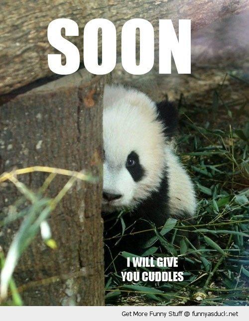 Funny Baby Pandas Fluffy Thing Fridays Pandas