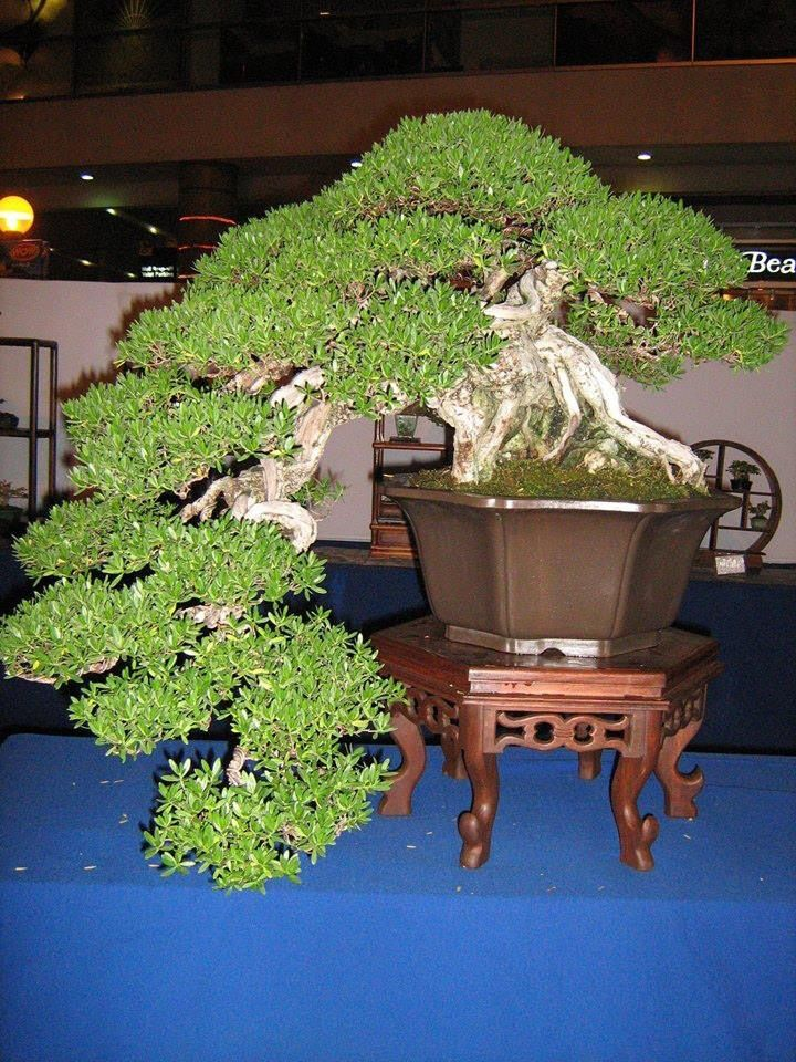 Incredible Beautiful Bonsai and incredibly old.  I wonder if this one has been passed on through the family.