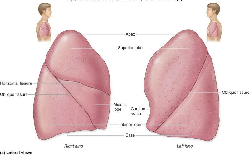Lung lobe anatomy right lung and left lung diagram | Anatomy note ...