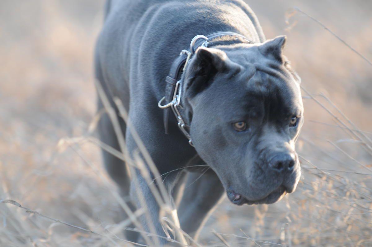 Cane Corso Cane Corso Dog Cane Corso Grey Pitbull