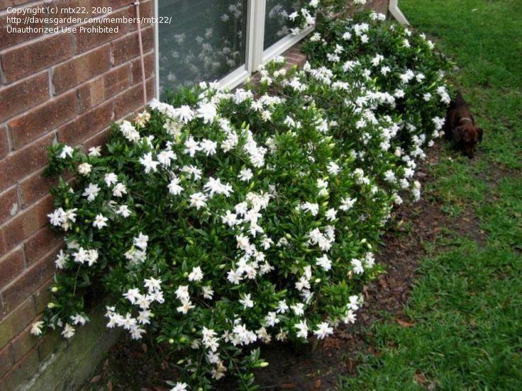 PlantFiles Pictures: Gardenia, Cape Jasmine U0027Radicansu0027 (Gardenia Jasminoides)  By