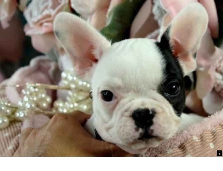 Read More About Teacup Pugs For Sale Please Click Here To Read