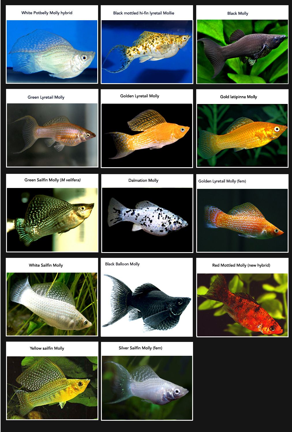 List of molly breeds my favorite aquarium fish by far for Common freshwater aquarium fish