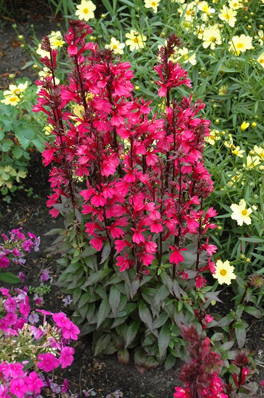 Lobelia Starship Deep Rose Annual Perennial Flowers Flowers