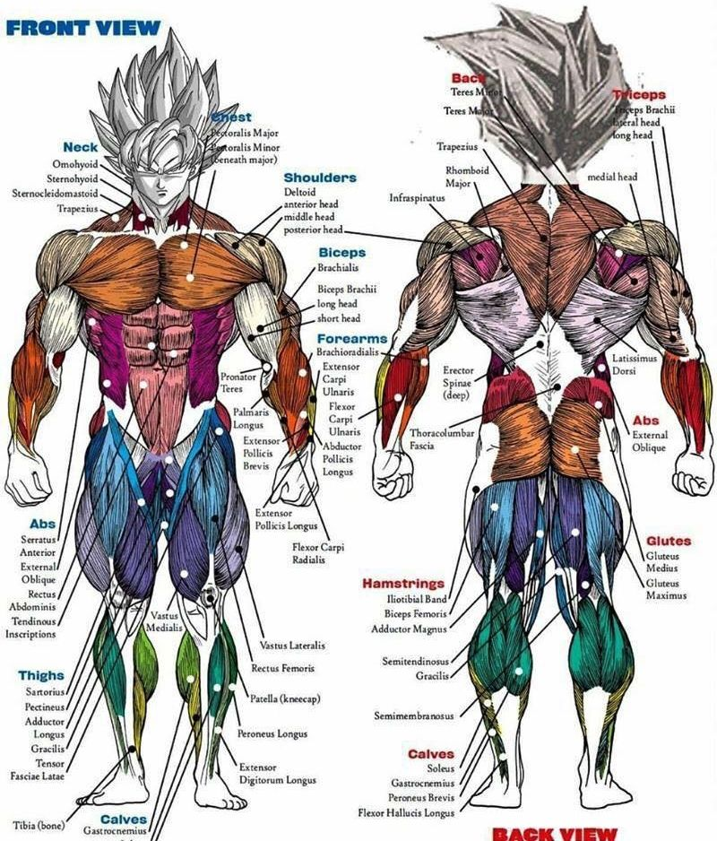 Saiyan anatomy chart | DBZ The Show That Never Gets Old! | Pinterest ...