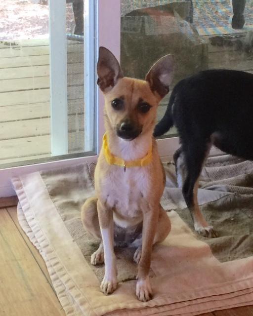 Adopt Sparkle On Pomeranian Chihuahua Mix Adoption Animal Rescue