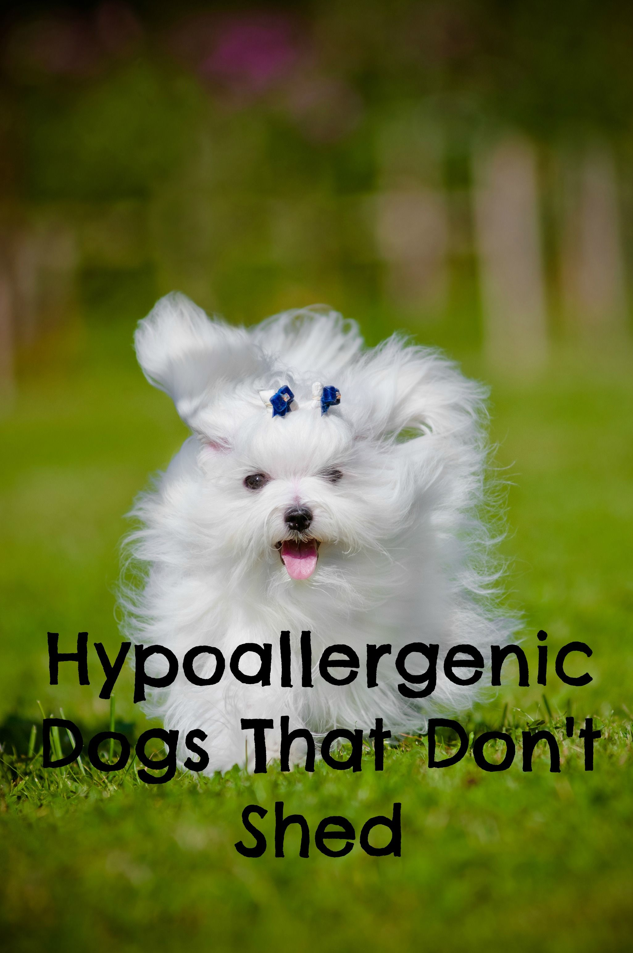 Hypoallergenic Dogs That Don T Shed Dog Breeds That Dont Shed Dogs Kids Dog Breeds
