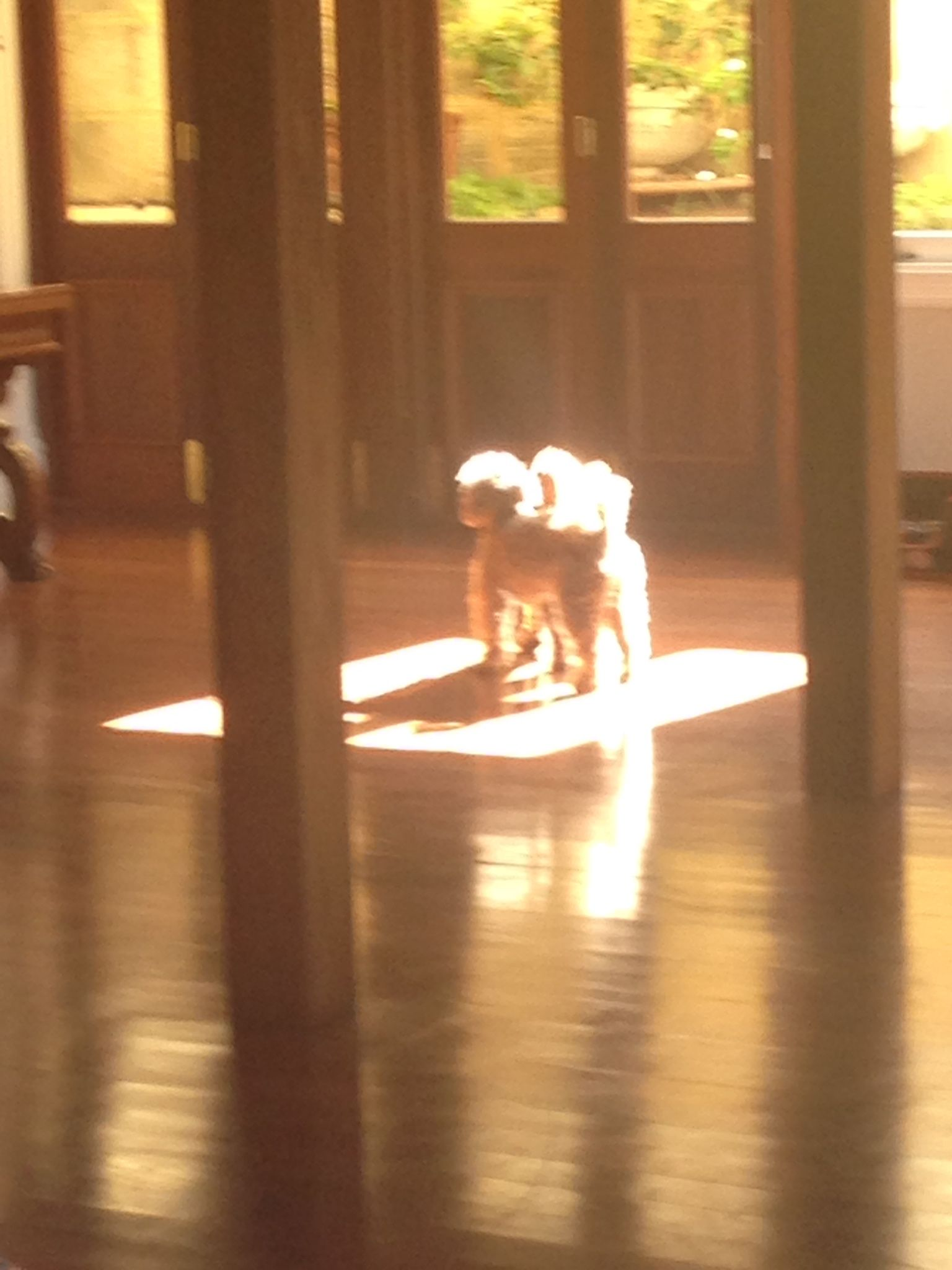 My poodles dancing in the sunlight