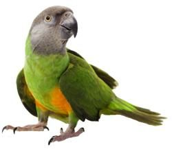 1000  images about Soco ♡ & Friends | Senegal Parrot on Pinterest
