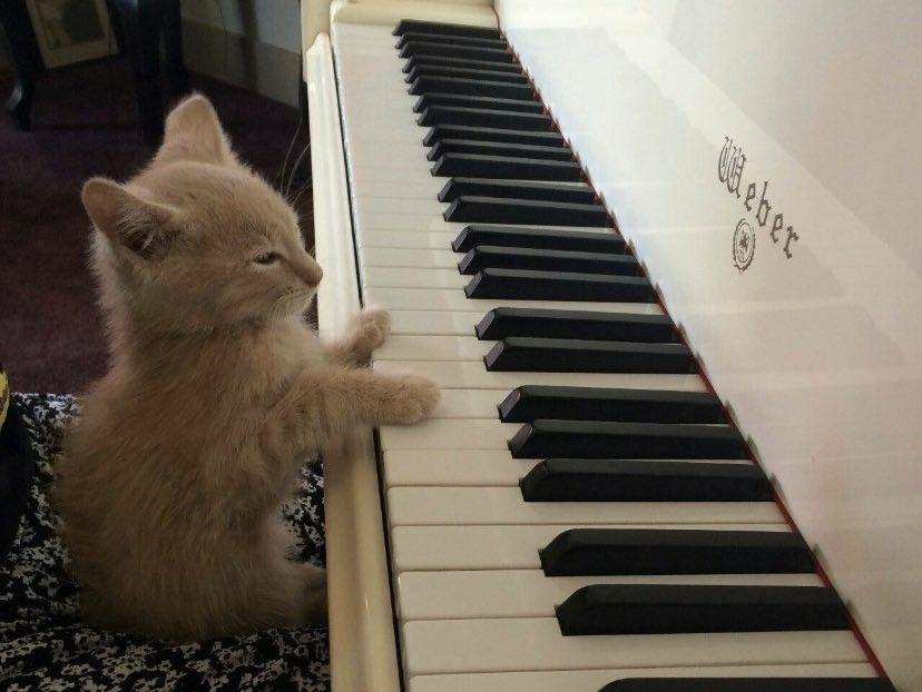 Pin By Ren Rengar On Animal Piano Cats Cat Memes