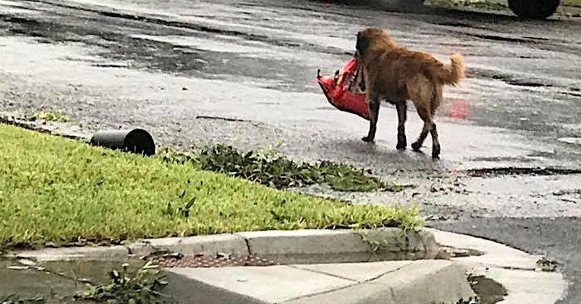 Resourceful Dog Walks Away With Bag Of Dog Food After Hurricane
