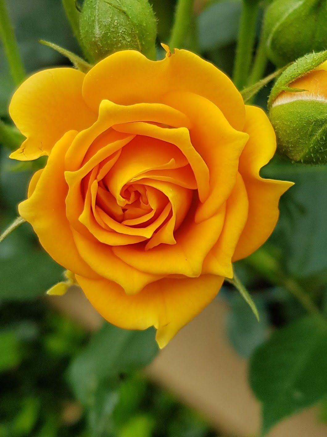 93 mejores imágenes de Rosas naranjas en 2020 | Rosas naranja ...