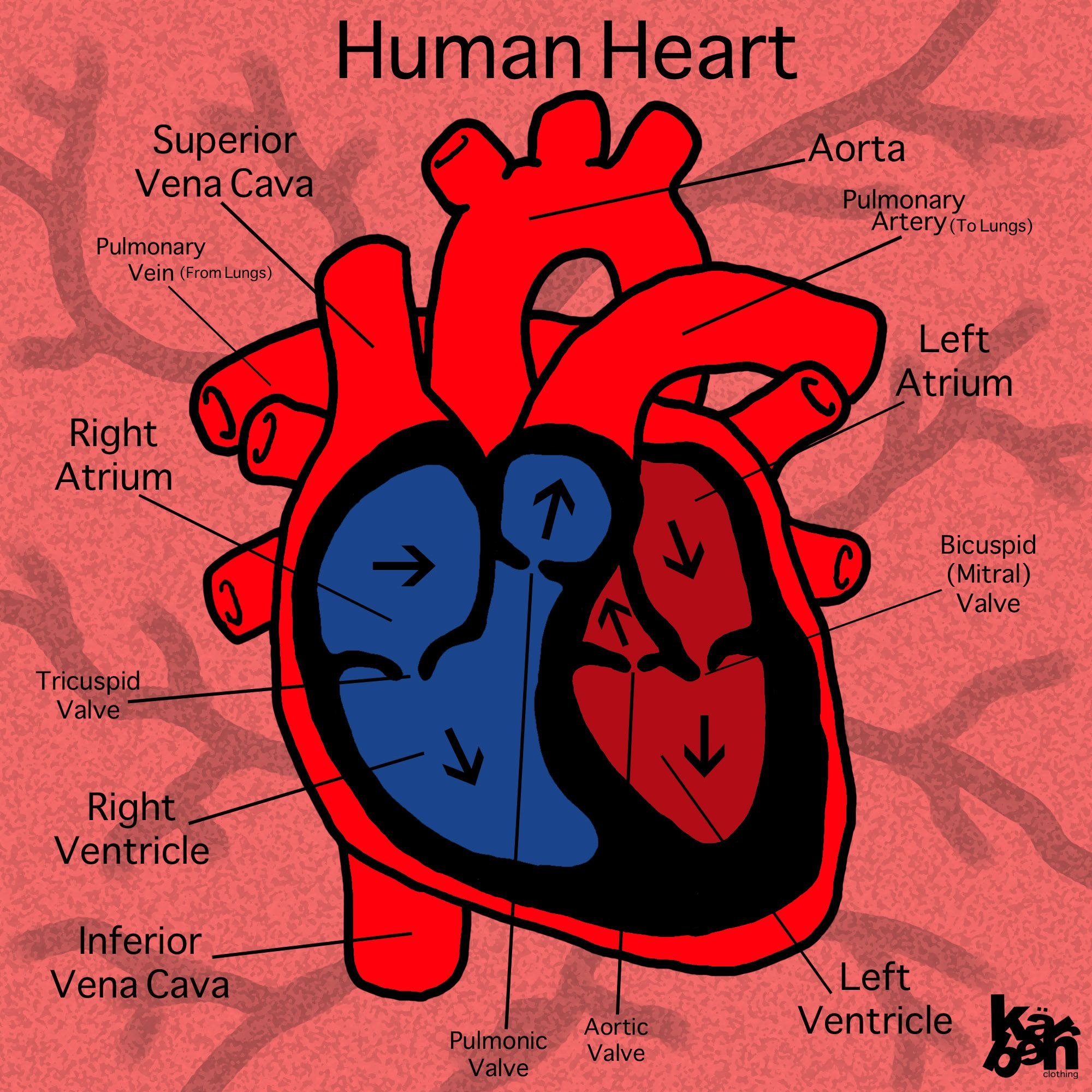Adult Heart Diagram 31