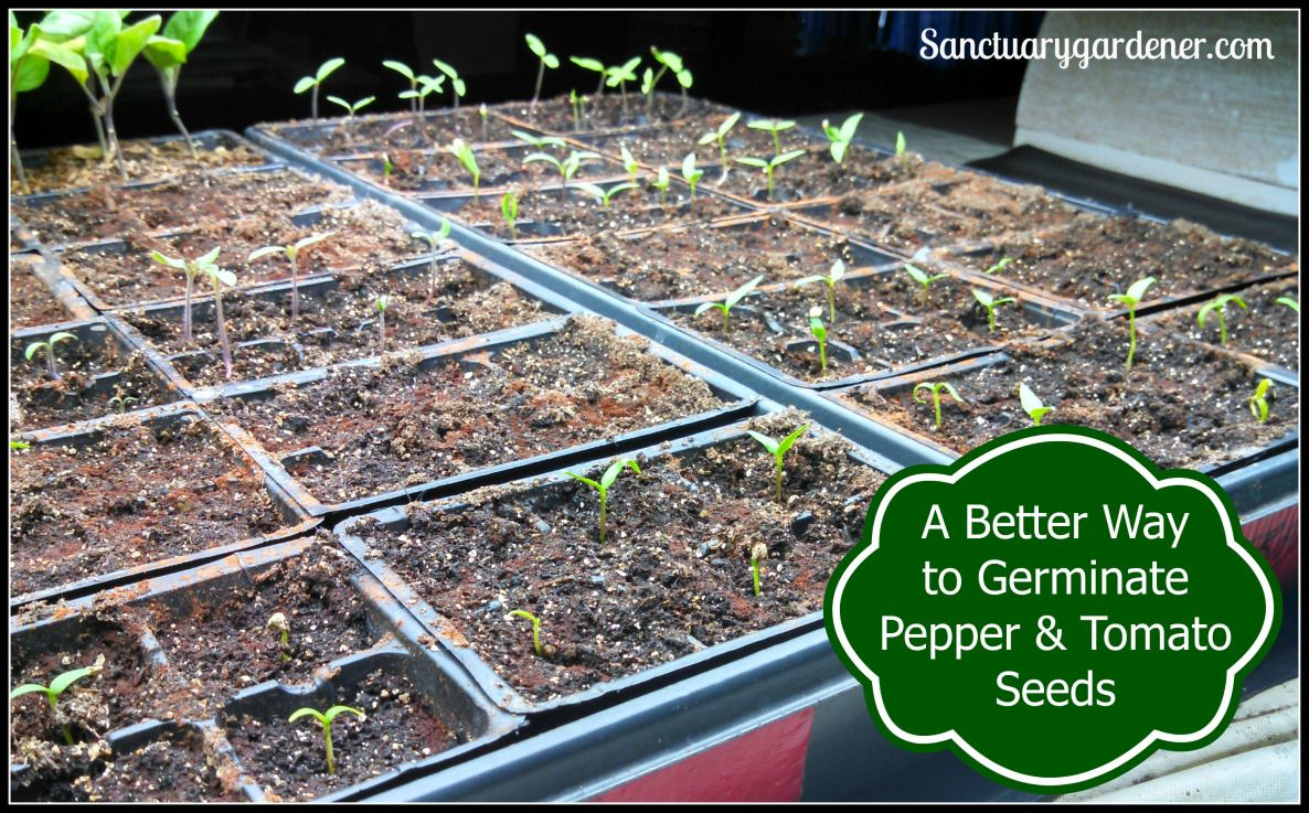 how to germinate pepper seeds in paper towel