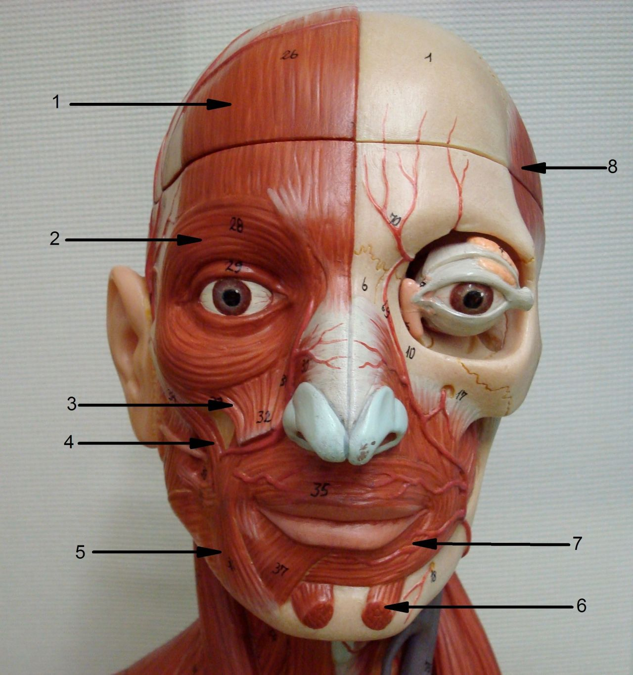Human Muscle Of Face Human Anatomy Diagram
