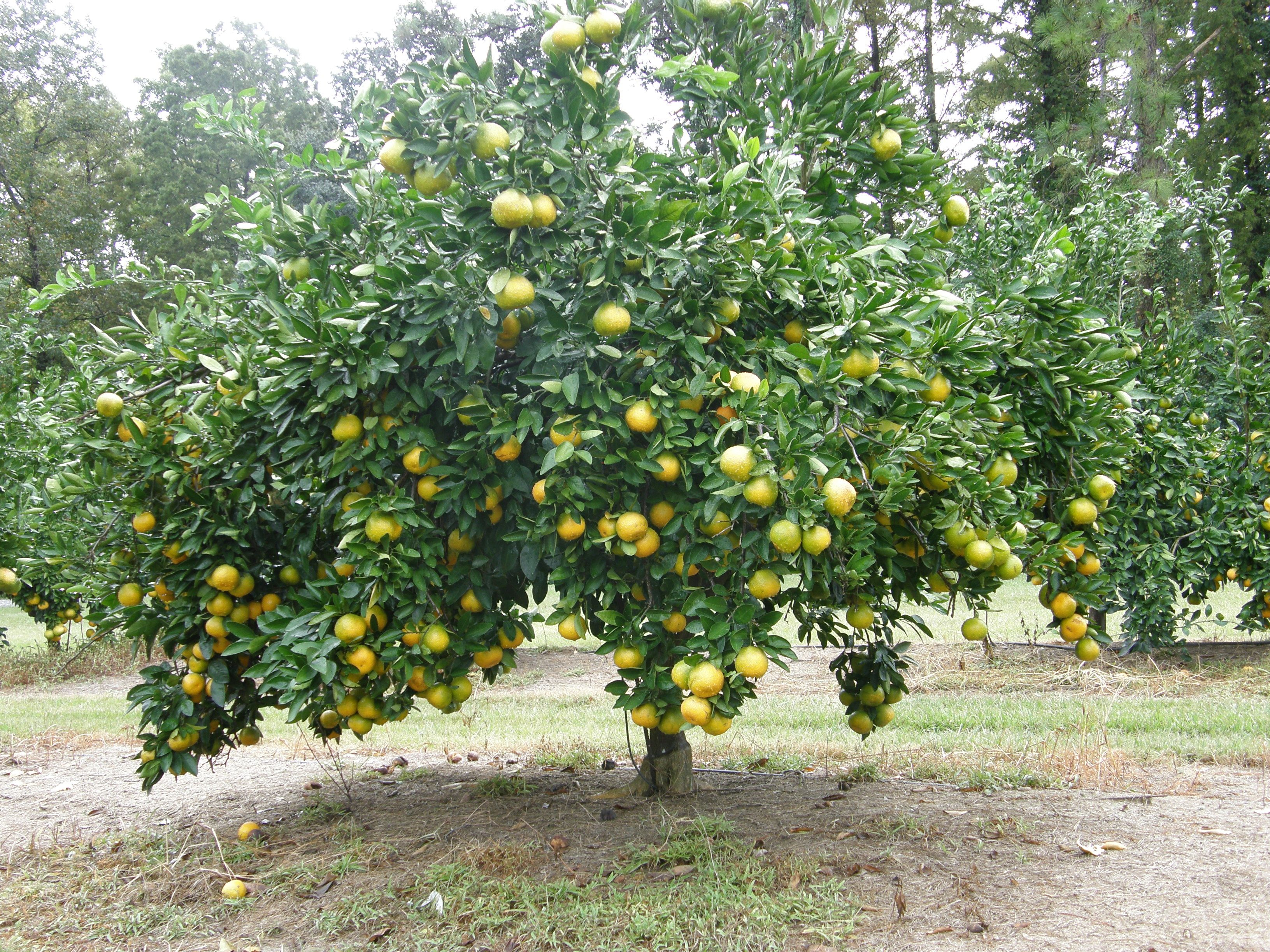 Charming Tree With Fruits Part - 10: Beautiful Well Grown And Shaped Apple Tree.