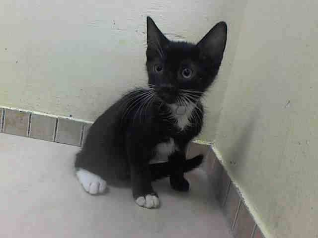 Nyc Lovely Kitten To Be Destroyed Tuesday Aug 5 14 Parson Id A1008844 I Am A Male Black And White About 12 Weeks Old Puppy Adoption My Animal Animals