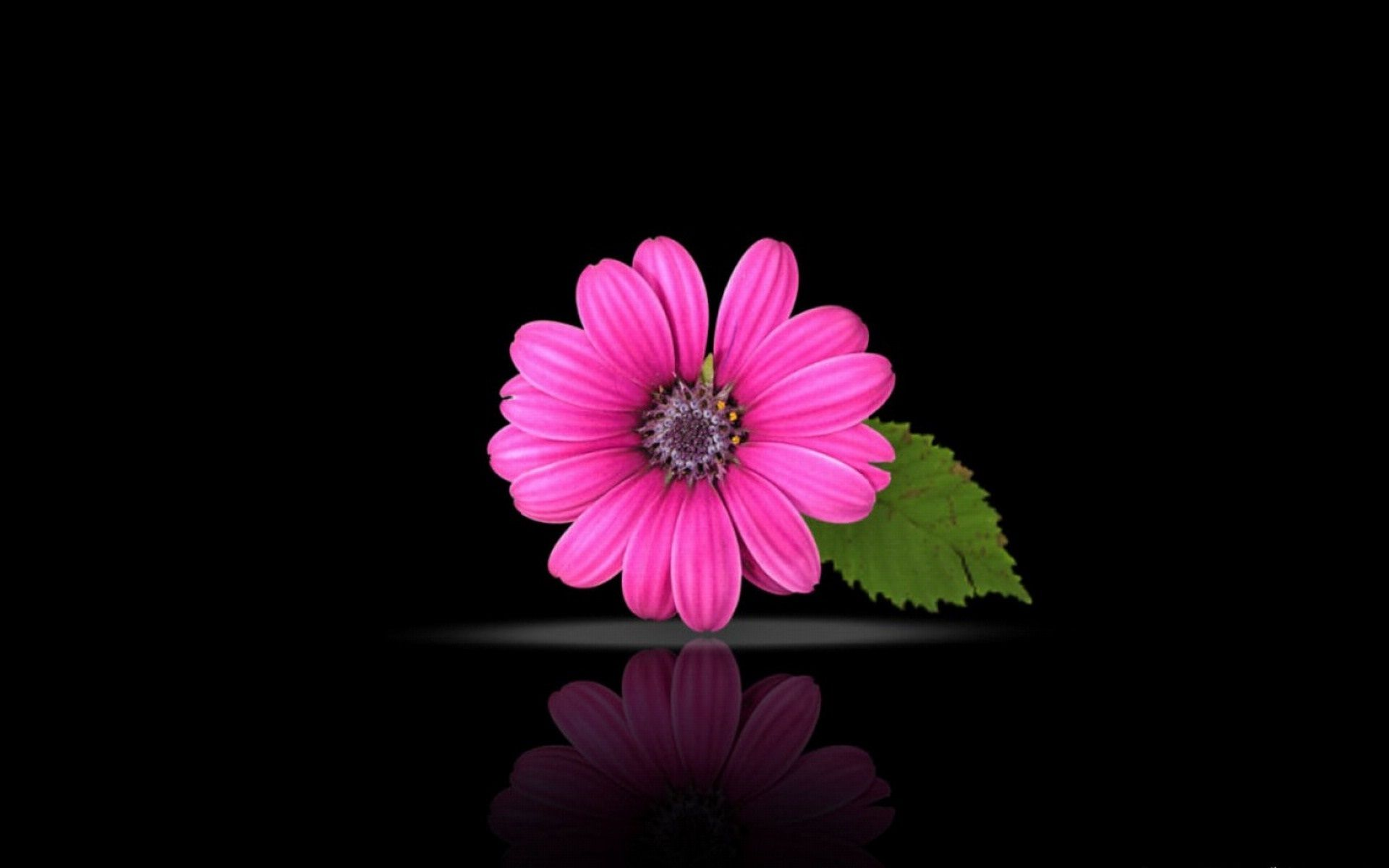 Pink beautiful flowers on black background superb ...