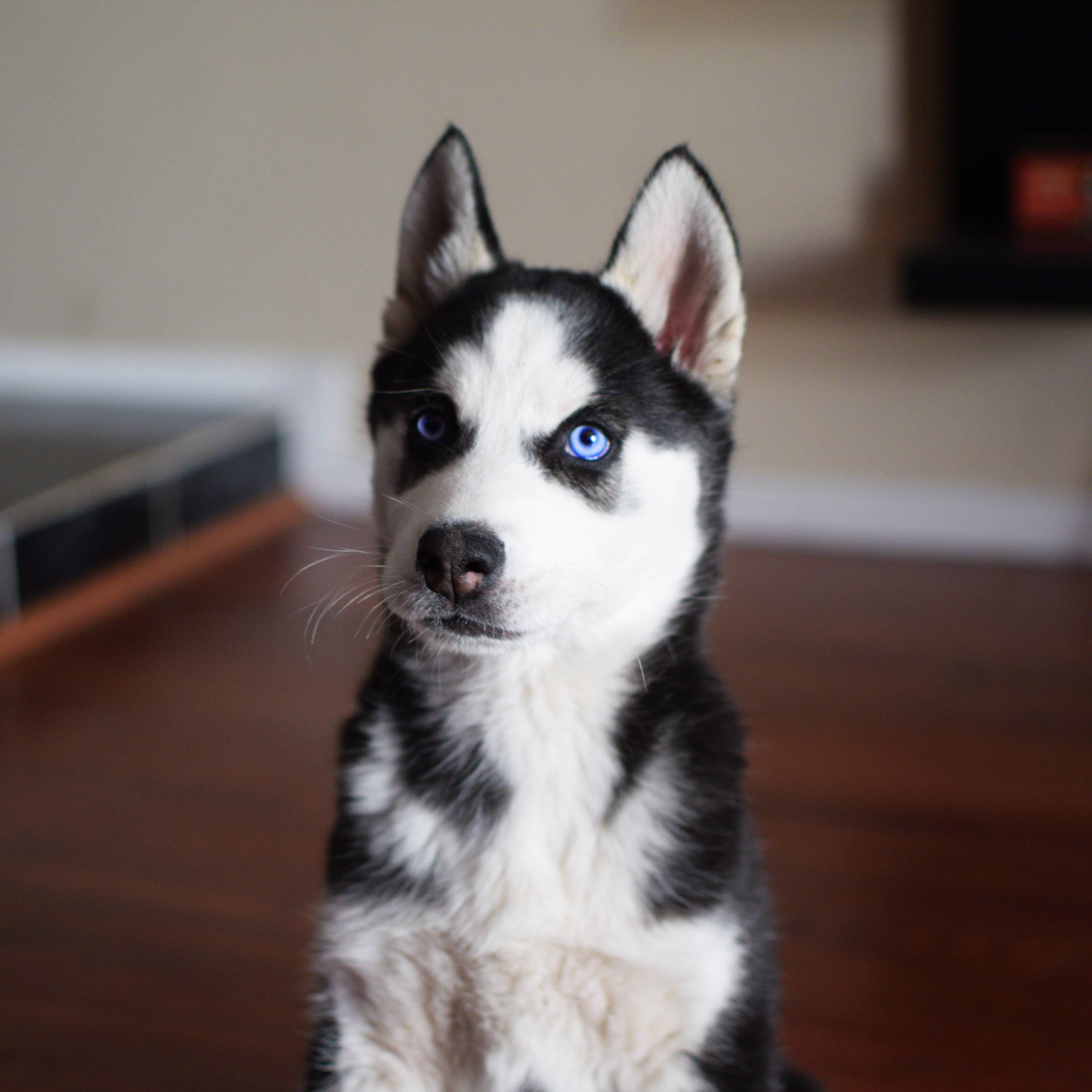 Dante The Husky Puppy S First Day Home With Us Look At Those