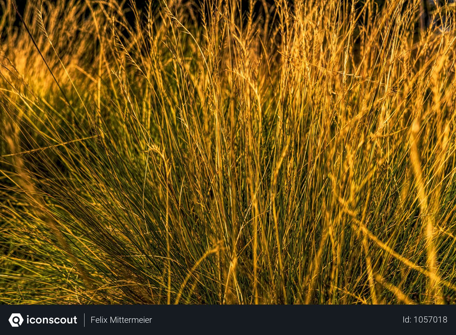 Free Close Up Of Dry Grass With Golden Sun Rays Photo Download In Png Jpg Format Golden Sun Close Up Photo