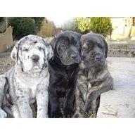 Mastidane Or Daniff Mastiff Great Dane Puppies Puppies