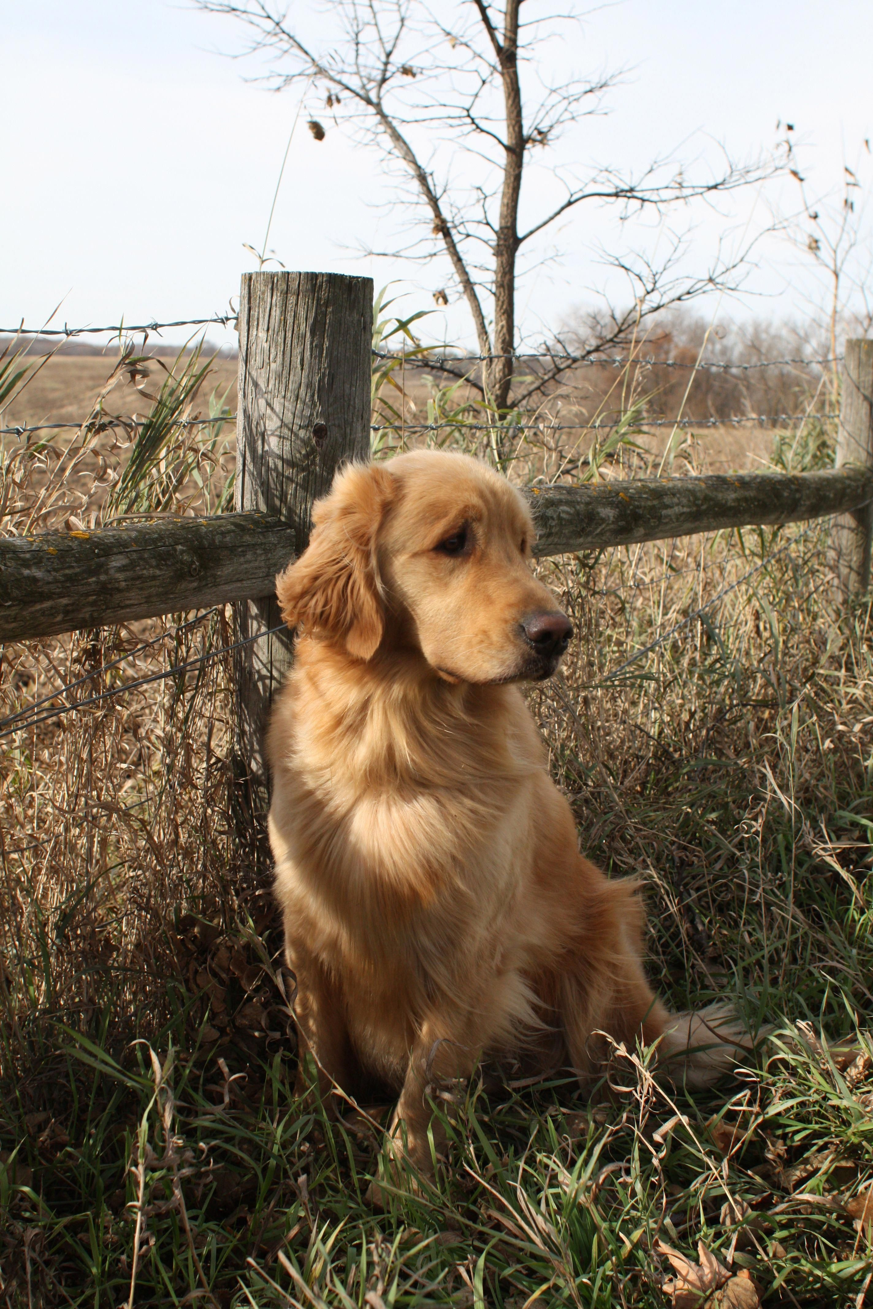 Receive Fantastic Pointers On Golden Retriever Puppy They Are