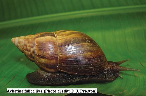 Image result for african land snail lettuce