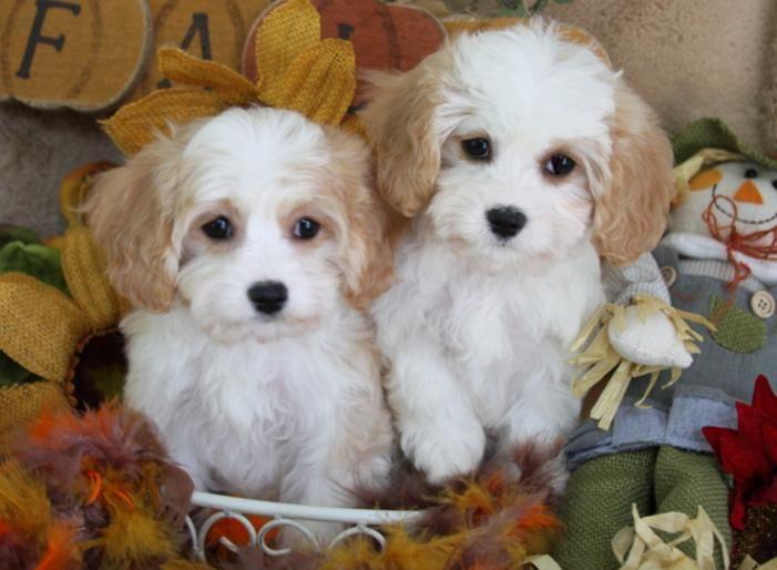 Foxglove Designer Puppies Cavachon Puppies Cavachon Cavachon Dog