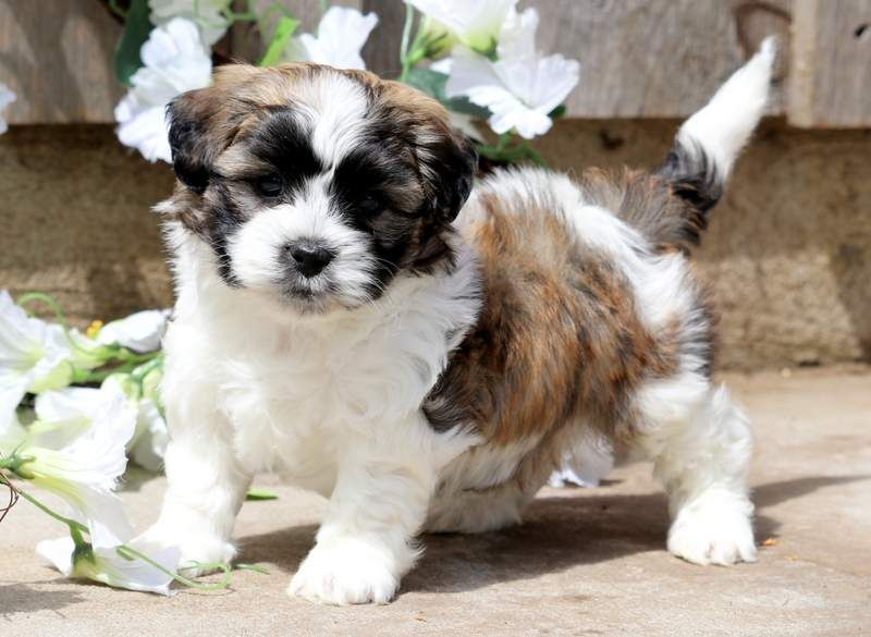 Buttons Dogs Puppies Puppies For Sale Puppies