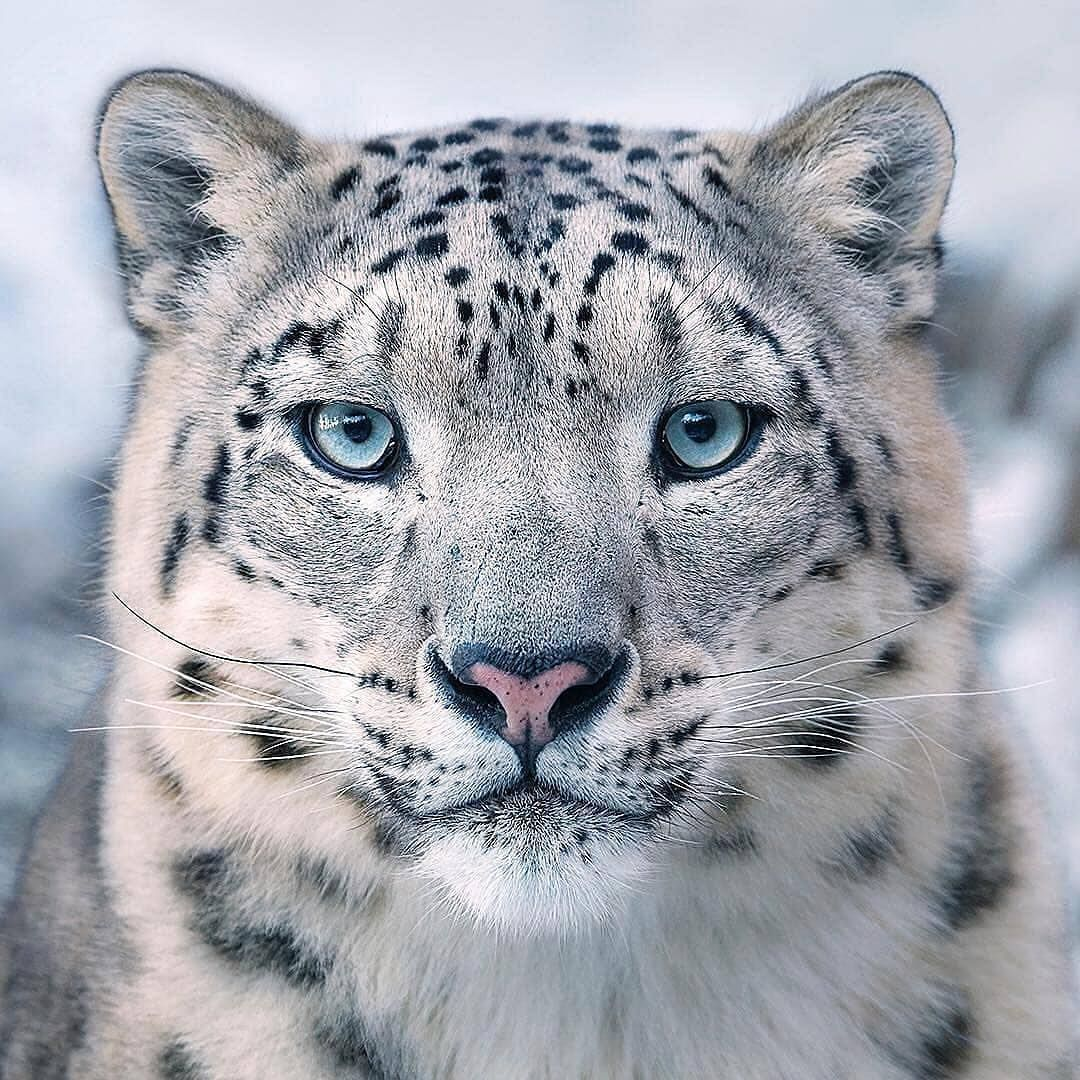 The majestic snow leopard is one of the most endangered big cats ...