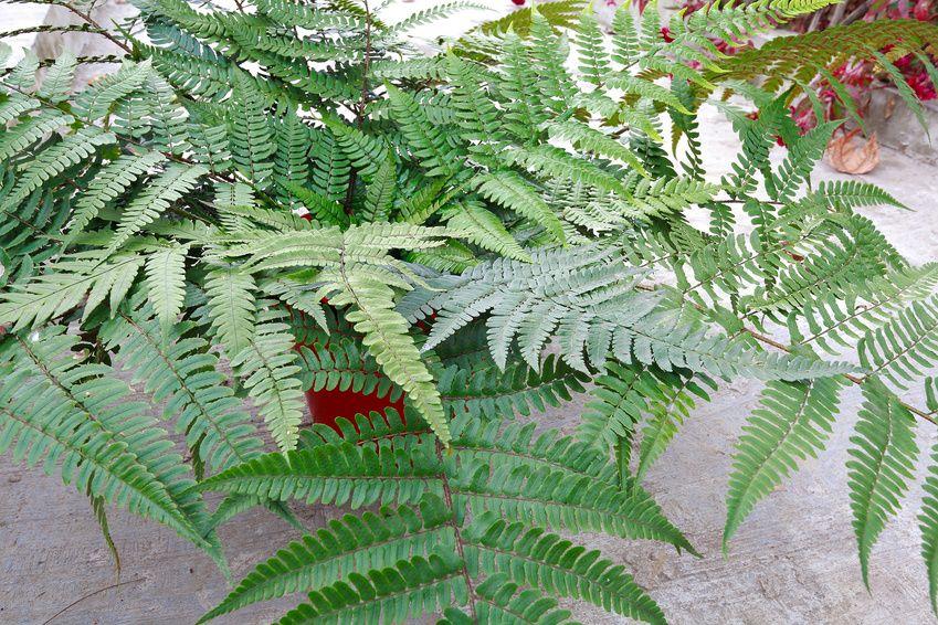 Créer un environnement sain et verdoyant au sein de votre maison peut être facile avec une plante d'intérieur comme les fougères. Découvrez...