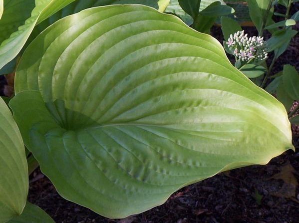 Hosta 'Hot Air Balloon' - It is a large to very large gold with huge uniquely shaped leaves, is a vigorous grower, and produces some yellow/gold seedlings. The very wide and deep set veins have a sti...
