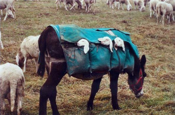 Burro transportando corderos