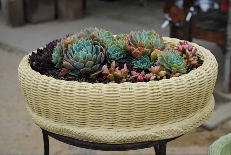 A Basket Used To House A Collection Of Succulents Love This What A Neat Way To Showcase My Hens And Chicke Succulents Cottage Garden Small Vegetable Gardens