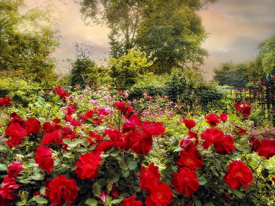 Red Rose Garden Photograph Creative Home Ideas