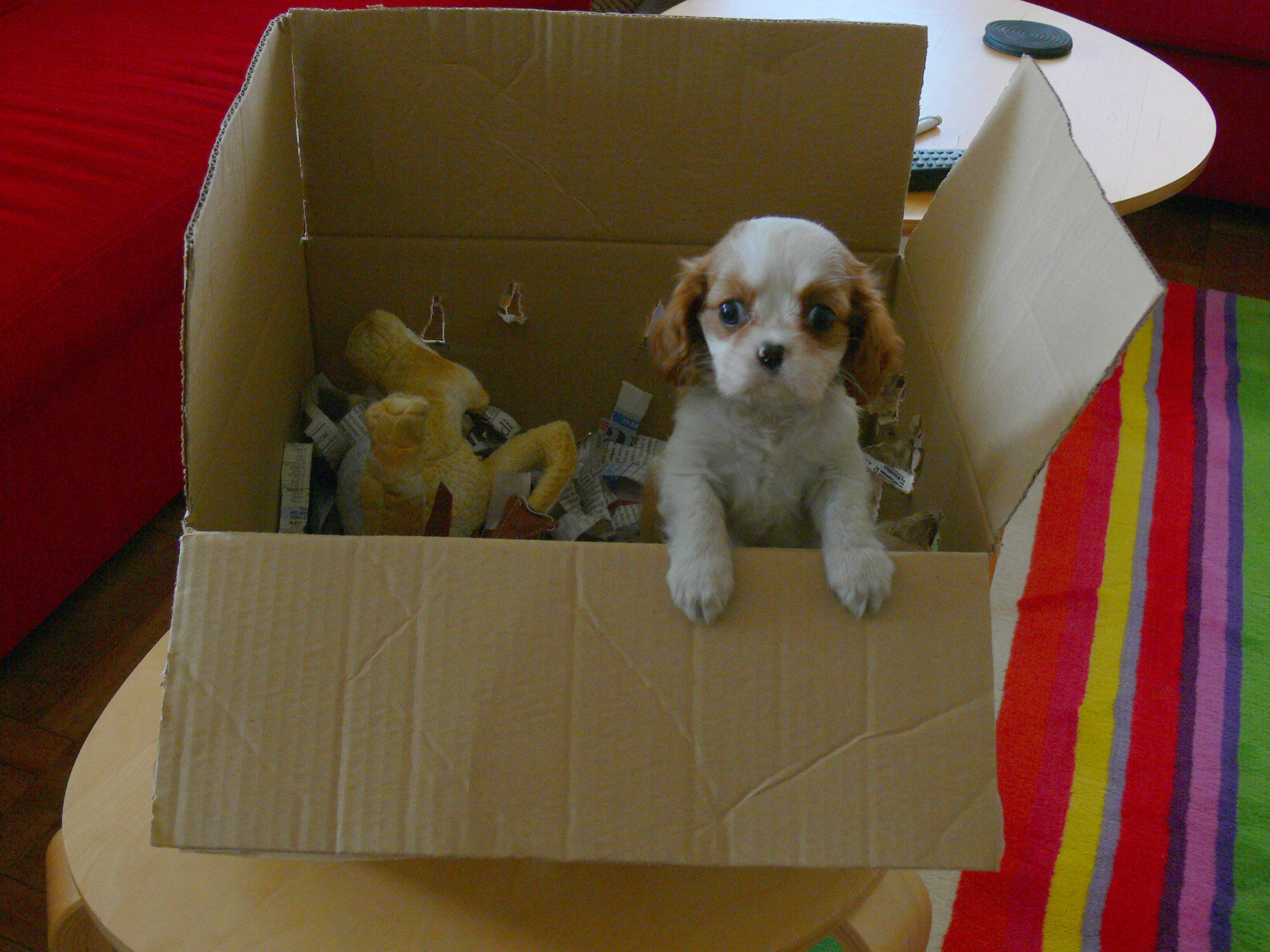 Welcome home, Minnie! -King Charles Cavalier