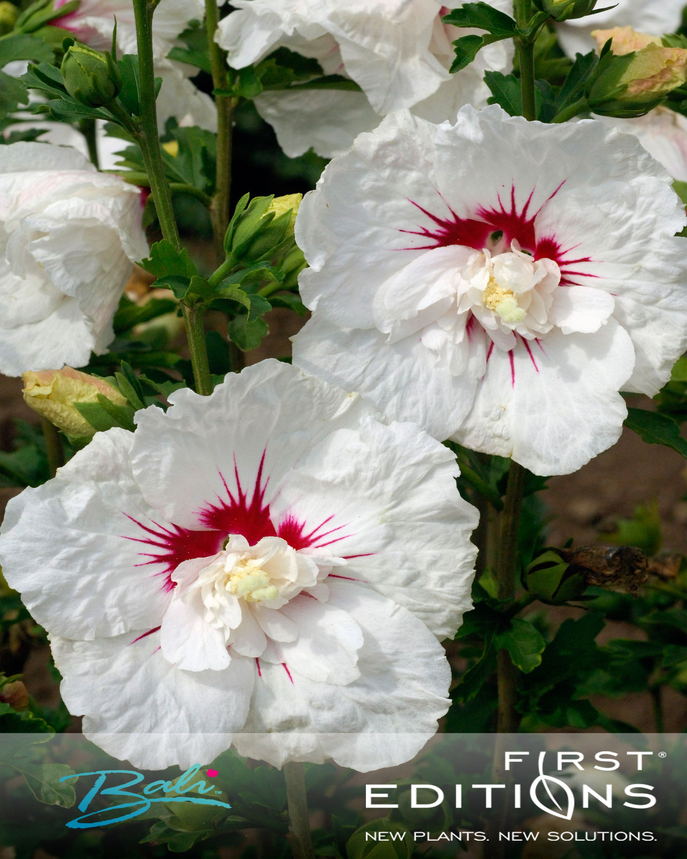 First Editions Bali Hibiscus Features Pure White Flowers With A