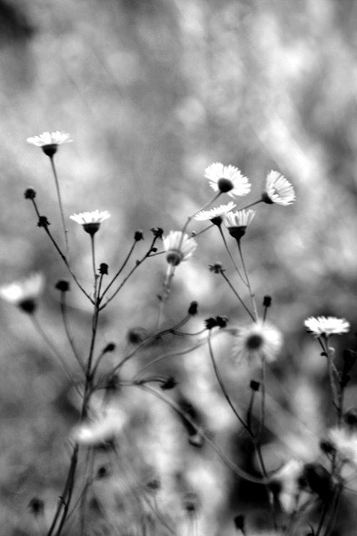 Even in black and white, flowers are beautiful and evoke the spirit ...