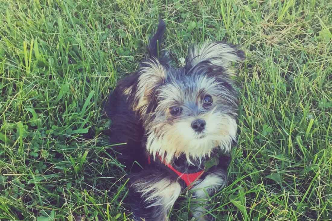 10 Things You Need To Know About Morkie Puppies (With