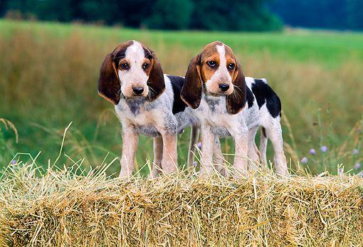 Treeing Walker Coonhound Dog For Adoption In Durham Nc Adn