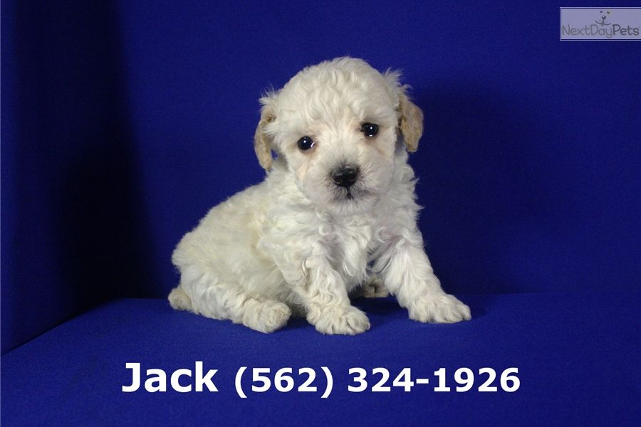 Maltipoo Puppies For Sale Near Los Angeles Ca References