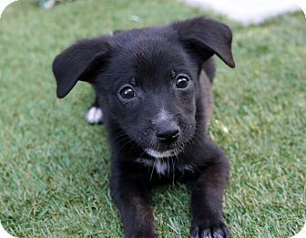 Phoenix Az Schipperke Mix Meet Milo A Puppy For Adoption