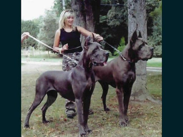 Worlds Biggest Dogs Great Dane Dogs Dane Dog Dane Puppies