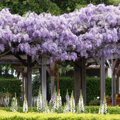 Purple Wisteria Vine For Sale Outdoor Pergola Pergola Pergola Garden