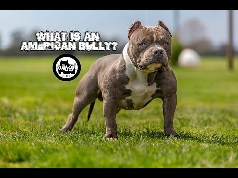 Egyptian Bullies Kane The Intro American Bully Youtube