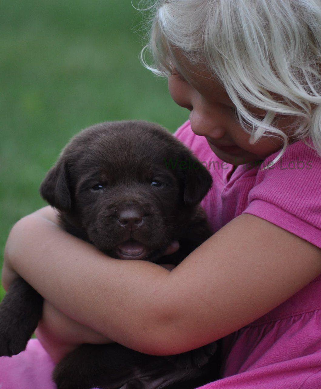 Labrador Puppies for Sale MN Lab Puppies Minneapolis