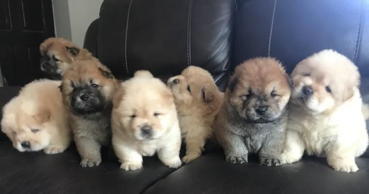 Chow Chow Puppies For Sale In 2020 Chow Puppies For Sale Chow Chow Puppy Puppies For Sale