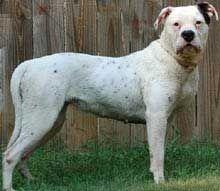 American Bulldog Training Tips For American Bulldog Dog Breeds