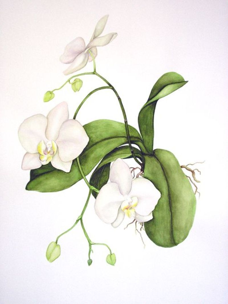 Epingle Par Lmc Lbv Sur Watercolor Dessin Orchidee Dessins